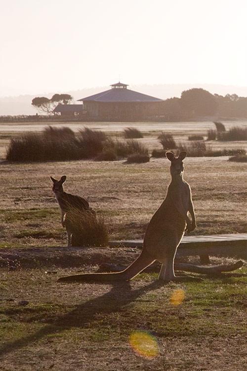 2 Kängurus im Narawntapu Nationalpark, Tasmanien