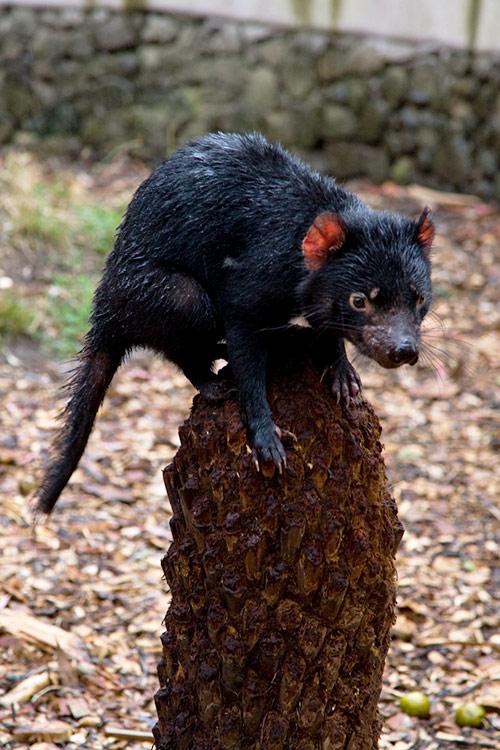 Ein nasser tasmanischer Teufel