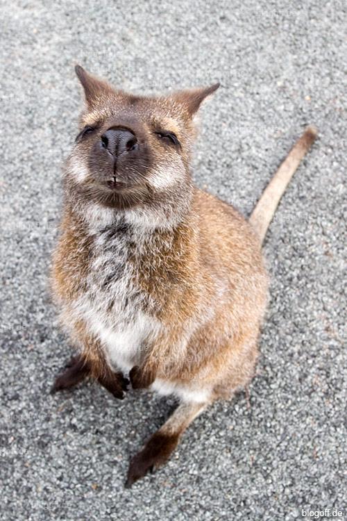 Tasmanisches Wallaby