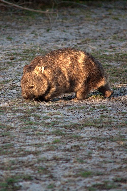 Ein Wombat beim Grasen