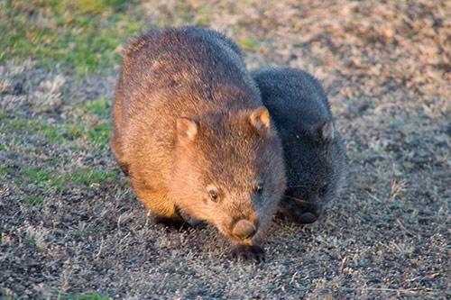 Zwei Wombats beim Wumbeln