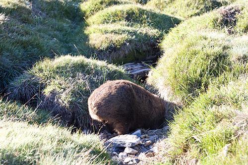 Ein Wombathinterteil im Gras
