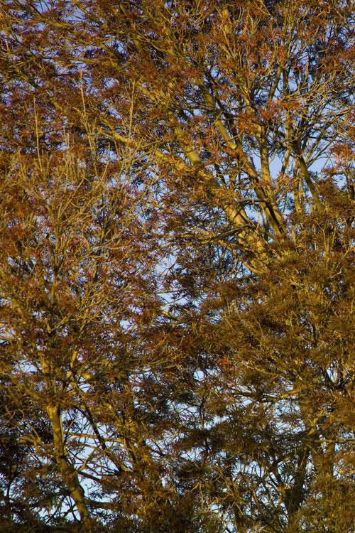 Blätterwerk, Waikerie