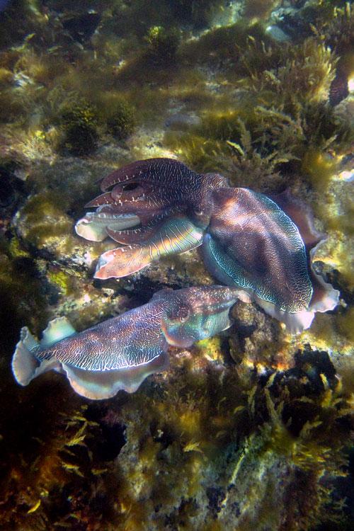 Zwei Cuttlefische umgarnen sich