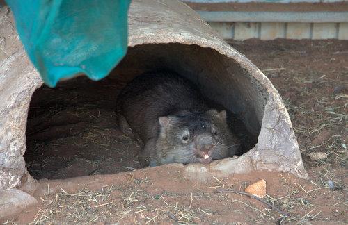 Ein frisch aufgewecktes Wombat