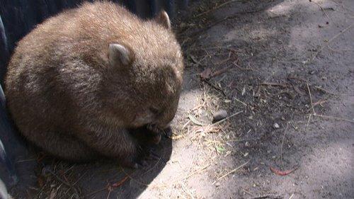 Ein Wombat bei der Fellpflege