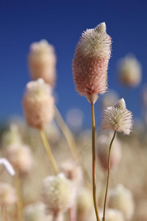 Pfeifenputzer-artige Pflanzen