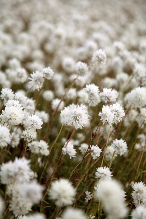 Weiße Wildblumen