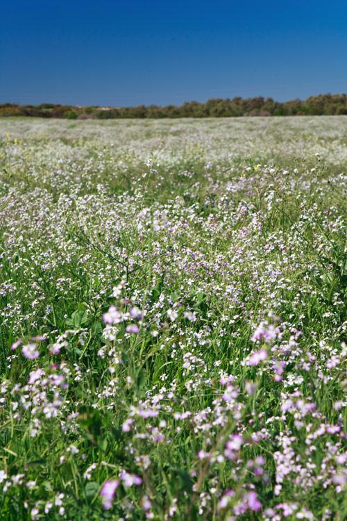 Wildblumenfeld, Westaustralien