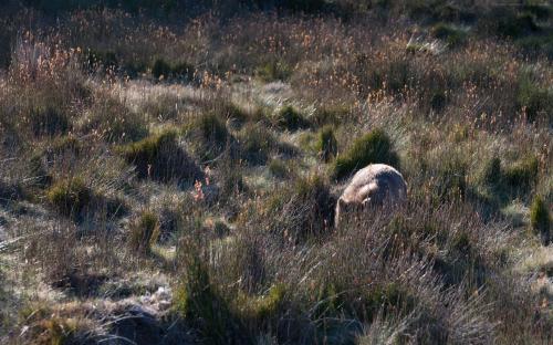 Ein Wombat versteckt sich im Gras und frisst.