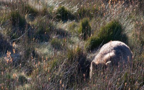 Ein Wombat sitzt im Gras und mampft.